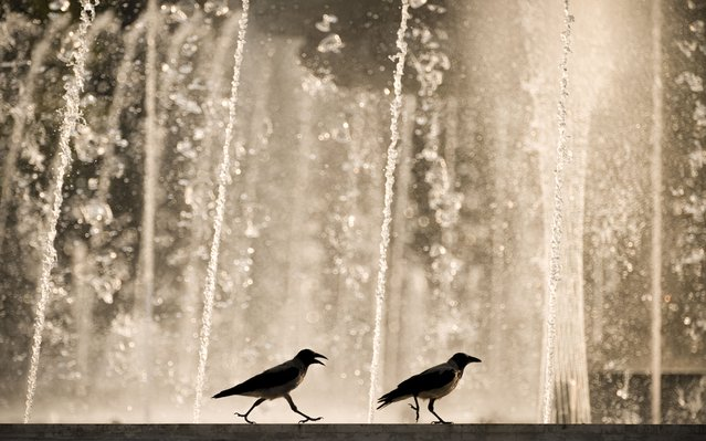 Two crows walk by a city fountain at sunset after a hot day in Bucharest, Romania, Monday, August 9, 2021. Southern Romania is affected by a heatwave which will continue in the coming days, with temperatures reaching 37 degrees Centigrade (98,6 Fahrenheit). (Photo by Vadim Ghirda/AP Photo)