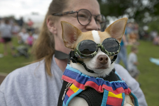 Jana Perez and her dog Stevie watch the action upclose. The 18th Annual Buda County Fair and Weiner Dog Races was held at city park in Buda Sunday April 26, 2015 sponsored by the Lions Club. (Photo by Ralph Barrera/Austin American-Statesman)