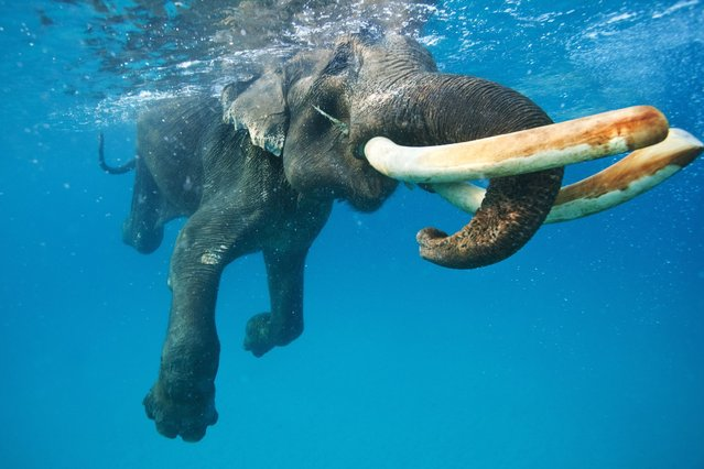 This elephant stopped for a dip in the cool sea water – lucky he didn't forget his trunks. (Photo by Solent)