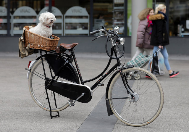 A dog sits in a basket on a bike as it waits for its owner in front of a shop in Nice, France, February 2, 2017. (Photo by Eric Gaillard/Reuters)