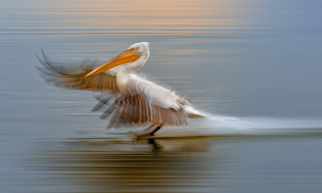 A Dalmatian pelican comes in to land on Lake Kerkini, a bird-watchers' paradise, in Greece on March 16, 2016. (Photo by Simone Sbaragli/Barcroft Media)