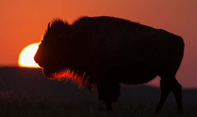 Framed by the setting sun, an American Bison grazes at the Tallgrass Prairie National Preserve on Tuesday, April 28, 2015, near Strong City, Kan. The buffalo herd at Tallgrass is one of the few herds of wild bison left in the United States. (Photo by Travis Heying/The Wichita Eagle via AP Photo)
