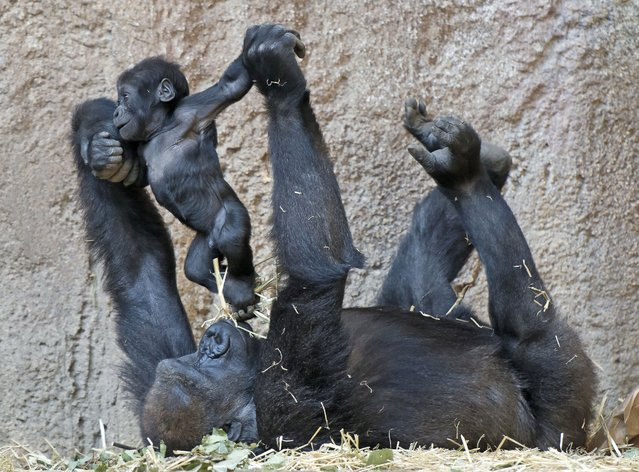 Baby gorilla Jengo plays with grandmother Viringika at the zoo in Leipzig, Germany, Thursday, March 20, 2014. (Photo by Jens Meyer/AP Photo)