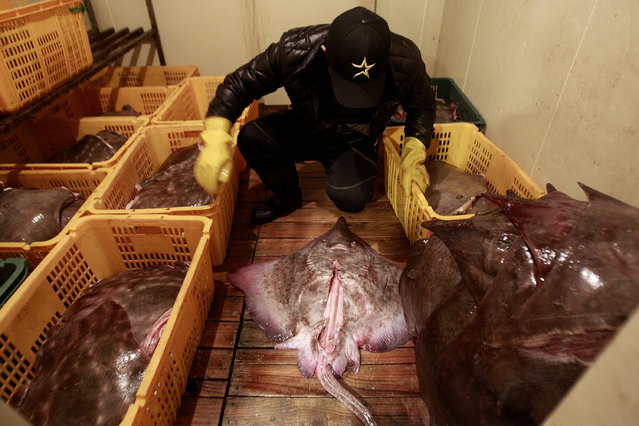 In this February 19, 2014 photo, Shin Jin-woo, 32, a seafood store worker, arranges skates at a fermentation refrigerator in Mokpo, South Korea. (Photo by Ahn Young-joon/AP Photo)