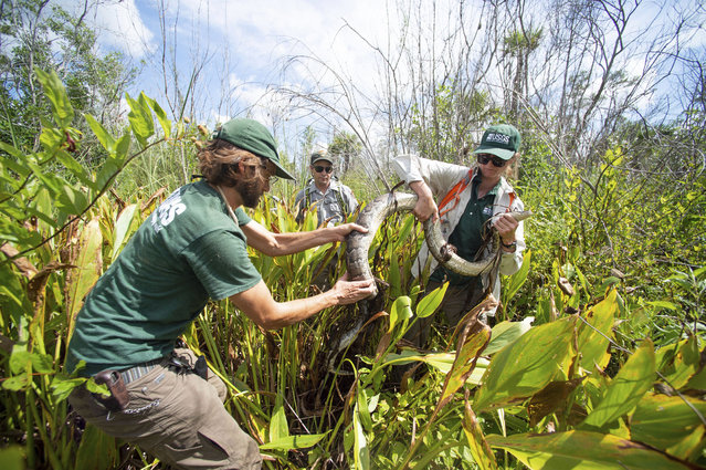 Scientists wrangle a Burmese python, which they named Charlie 5, at Big Cypress national preserve in Florida. (Photo by Leah Voss/AP Photo)