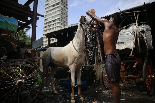 In this June 16, 2015 photo, a horse gets his morning bath from groom Shakeel at a stable in Mumbai, India. (Photo by Rafiq Maqbool/AP Photo)