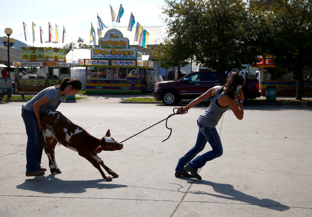Women lead a calf as people prepare for the Iowa State Fair in Des Moines, Iowa, U.S. on August 7, 2019. (Photo by Eric Thayer/Reuters)
