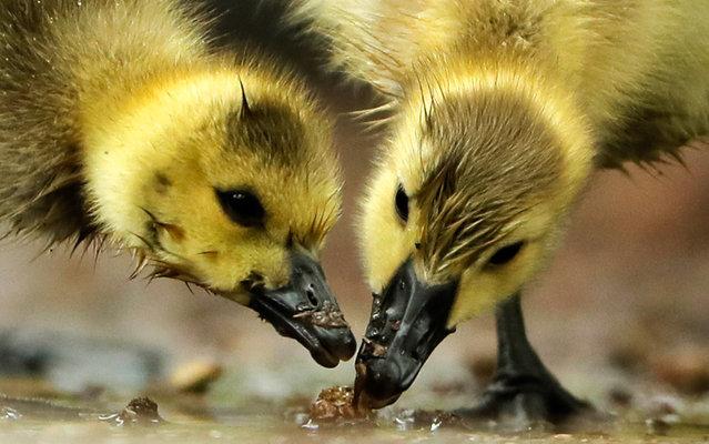 Goslings feed near the Schuylkill River on Tuesday, May 3, 2016, in Philadelphia. (Photo by Matt Rourke/AP Photo)