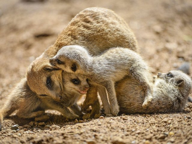 Three of the five baby meerkats play with their mother at the Chester Zoo, on May 23, 2014. (Photo by Steve Rawlins/PA Wire/Chester Zoo)