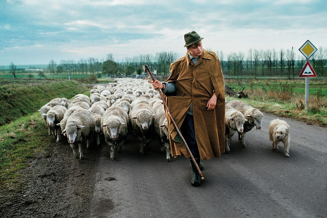 A shepherd walks with a herd of sheep near Magdeburg in the former German Democratic Republic, 1989. (Photo by Steve McCurry/The Guardian)