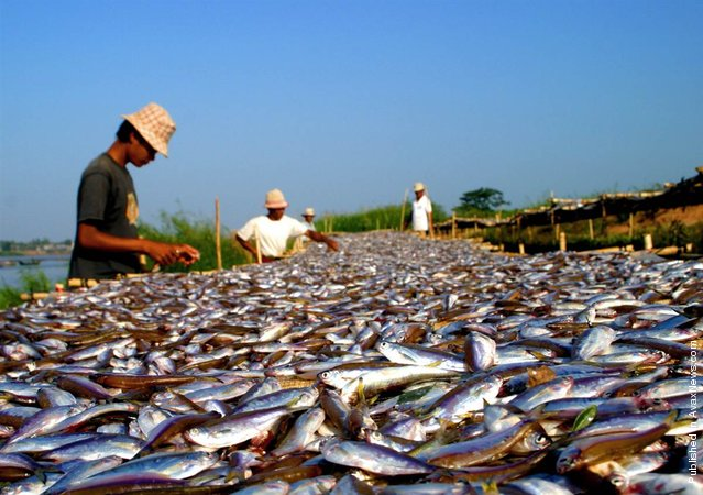 """Migratory fish, like these small carp from Cambodia known as """"trey riel"""" or money fish, make up an estimated 40 percent to 70 percent of the 2.5 million metric tons of fish harvested from the Mekong River basin each year"""