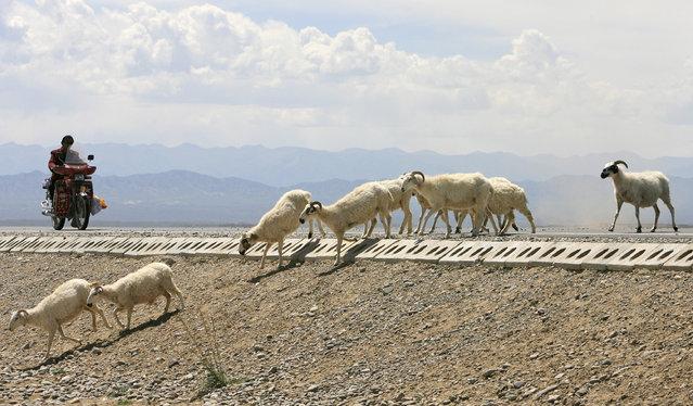 A motorcyclist stops as a herd of sheep cross a road in Gonghe County in west China's Qinghai province July 25, 2007. (Photo by Tim Chong/Reuters)