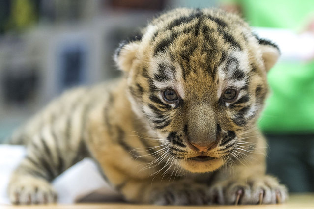 A Siberian tiger (Panthera tigris altaica) cub lies on an examination table during a routine medical check in Veszprem Zoo in Veszprem, 108 kms southwest of Budapest, Hungary, 15 June 2016. The cub is one of the two that were born on zoo premises two weeks earlier. (Photo by Boglarka Bodnar/EPA)