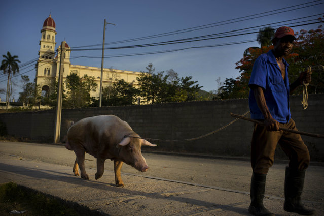 In this July 27, 2015 photo, a man walks his pig home as he passes the Virgin of Charity of Cobre church in Santiago, Cuba. The city sits 500 miles (800 kilometers) east from Havana on highways that narrow outside the capital to roads of horsecarts, bicyclists and stray cows. (Photo by Ramon Espinosa/AP Photo)