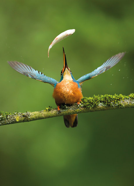 """Catch of the day by Vince Burton, UK. Winner of the Nature Photographers Ltd people's choice award. Common kingfisher (Alcedo atthis) in Suffolk, England. """"The Kingfisher caught this fish by spearing it with its beak. It flew to a nearby branch, threw back its head and tossed the fish into the air, before catching it again"""". (Photo by Vince Burton/2017 Bird Photographer of the Year Awards)"""