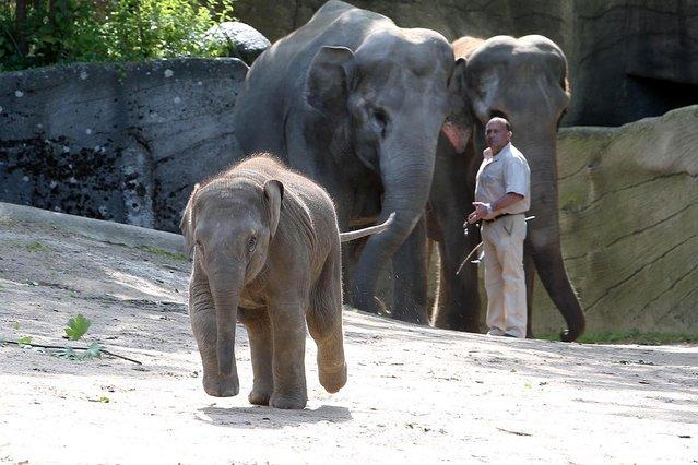 Baby elephant Anjuli celebrates 1st birthday at Hagenbeck Zoo in Hamburg, Germany on July 13, 2016. (Photo by Stephan Wallocha/Startraksphoto.com)