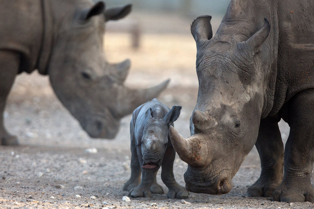 A new born female Square-lipped Rhinoceros is seen with her six-year old-mother, Keren, at the Ramat Gan Safari zoo near Tel Aviv on August 24, 2015. (Photo by Menahem Kahana/AFP Photo)