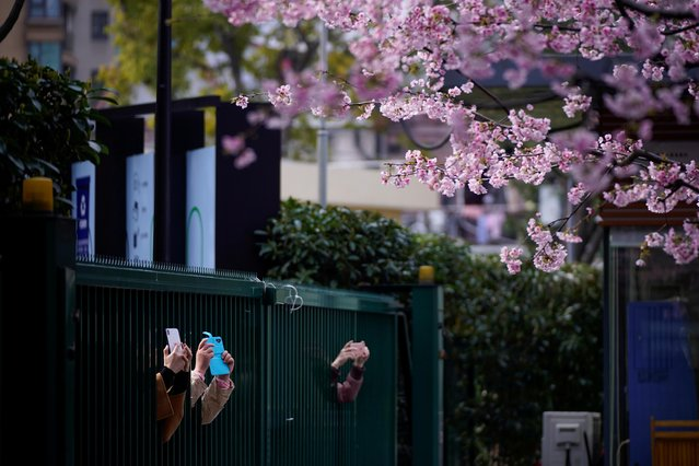 People take pictures of blooming cherry blossoms outside an entrance of a closed park as the country is hit by an outbreak of the novel coronavirus, in Shanghai, China on March 6, 2020. (Photo by Aly Song/Reuters)