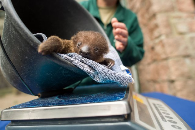 A young sloth sits in a bucket at the Bergzoo zoo in Halle an der Saale, eastern Germany, on September 12, 2017. The two-toed sloth baby was born at the zoo on August 5, 2017. (Photo by Klaus-Dietmar Gabbert/AFP Photo/DPA)