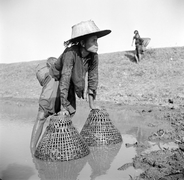 An elderly woman using baskets to fish for plaice in a canal in Thailand, circa 1955. (Photo by Three Lions)
