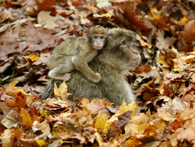 Macaques enjoy the autumn leaves at Blair Drummond safari park in Stirling, England on October 11, 2017. (Photo by Andrew Milligan/PA Wire)