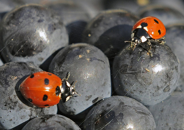 Ladybirds (Coccinellidae) walk on the fruit during the harvest of Burgundy grapes on a vineyard of the Thueringer Weingut Bad Sulza near Sonnendorf, central Germany, September 19, 2012. With the beginning of autumn the harvest has started in the vineyards in the Saale-Unstrut area. The viticulture in the Saale-Unstrut-district has a tradition of more than 800 years. (Photo by Jens Meyer/AP Photo)