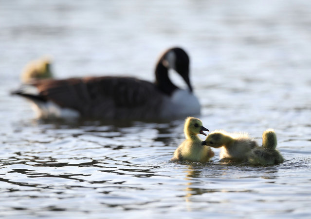 Goslings and a goose are seen in Verulamium Park, St Albans, Britain, May 6, 2020. (Photo by Peter Cziborra/Reuters)