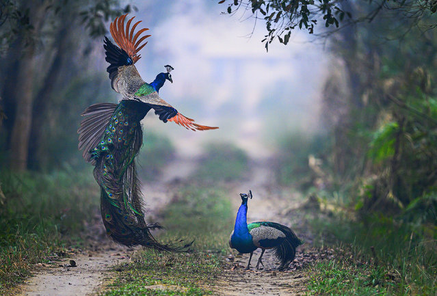 A peacock leaps into the air as it battles a rival over territory on a foggy morning. The brightly coloured bird jumped almost six feet into the air before crashing down on its opponent. The fight was captured by amateur photographer Nilesh Patel, in Dudhwa National Park, India. (Photo by Nilesh Patel/Solent News & Photo Agency/Solent News)