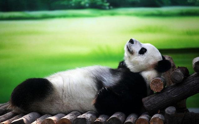 Ten-year-old giant panda Xin Yue