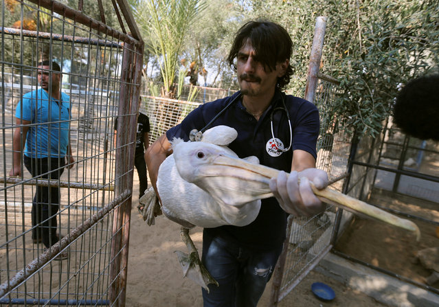 "A member of Four Paws International team carries a pelican to be taken out of Gaza, at a zoo in Khan Younis in the southern Gaza Strip August 23, 2016. Fifteen animals including a bengal tiger were removed from ""the world's worst zoo"" in the Gaza town of Khan Younis as it was finally closed down. Animal welfare group, Four Paws International, will help bring most of the refugees to a zoo in Jordan, but the tiger will be taken to a refuge in South Africa. Five monkeys, a porcupine, an emu and the tiger, among others, crossed from the occupied territory into Israel after the zoo suffered from years of difficulty. With lack of awareness of animal welfare in Gaza, the densely-populated territory has previously made headlines after another zoo painted donkeys with stripes to resemble zebras in 2009. (Photo by Ibraheem Abu Mustafa/Reuters)"
