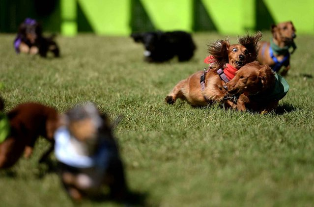 Dachshunds Lucy, center left, and Lenny collide during the final race of the 2014 Wiener Dog Races at Morrell Park in Savannah, Ga. on Saturday, October 4, 2014. Ninety-six dogs competed in 11 heats during the 2014 competition. (Photo by Brittney Lohmiller/AP Photo/Savannah Morning News)