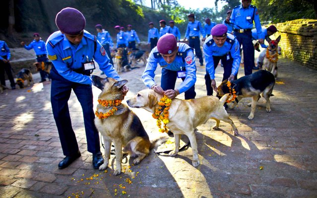 Police officers decorate their dogs with vermillion powder and flower garlands during Tihar festival celebrations at a police kennel division in Katmandu, Nepal, November 13, 2012. Dogs are worshipped to acknowledge their role in providing security for the festival, one of the most important Hindu festivals dedicated to the worship of the Goddess of wealth Laxmi. (Photo by Niranjan Shrestha/Associated Press)