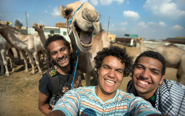 This camel clearly didnt get the hump about having its picture taken after posing for a selfie. Pictured joining in with the group photo, the hilarious photo shows the delighted desert dweller smiling happily for the camera. Captured by friends Hossam Antikka, 20, Karem Abdelaziz, 22, and Misara Salah, 24, the group spent around half an hour feeding the camel before deciding to take a snap of their new found friend. (Photo by Caters News)