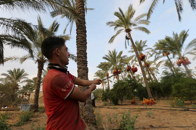 Palestinian farmers harvest dates from a palm tree in Khan Younis in the southern Gaza Strip October 4, 2015. (Photo by Ibraheem Abu Mustafa/Reuters)