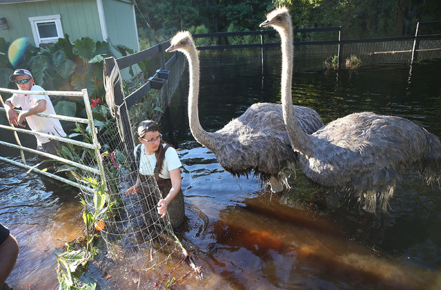 Sarah Dillow helps move ostriches from their flooded pen on October 7, 2015 in Givhans South Carolina. The state of South Carolina experienced record rainfall amounts over the weekend and officials expect the damage from the flooding waters to be in the billions of dollars. (Photo by Joe Raedle/Getty Images)