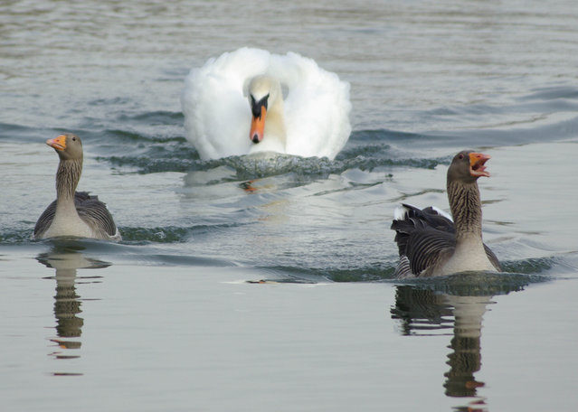 A swan chasing ducks. (Photo by Graham Brown/Comedy Wildlife Photography Awards/Mercury Press)