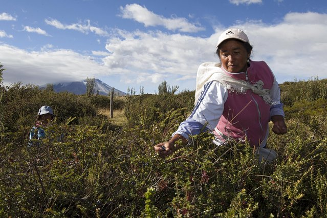 Locals harvest mortinios (blueberries) at the northern outskirts of the Cotopaxi volcano, one of the world's highest active volcanoes, at El Pedregal, in Ecuador, October 22, 2015. (Photo by Guillermo Granja/Reuters)