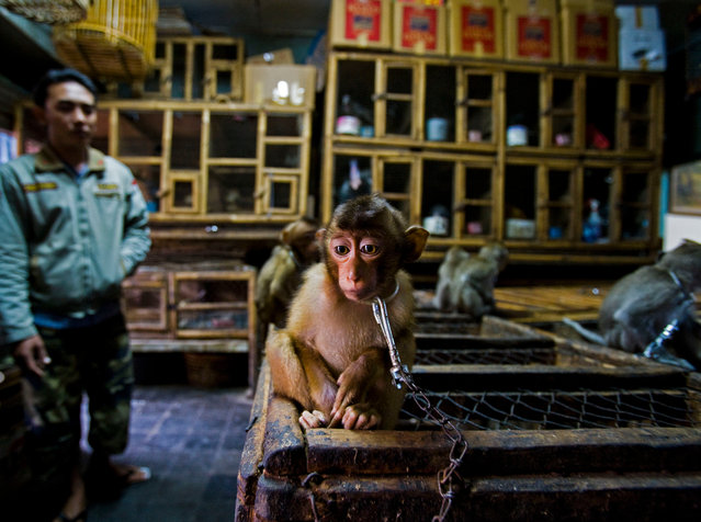 Winner – Wildlife Photojournalist Story Award: Backroom business by Paul Hilton, UK/Australia. A young pig-tailed macaque is put on show chained to a wooden cage in Bali's bird market, Indonesia. They are energetic, social primates living in large troops in forests throughout south-east Asia. As the forests are destroyed, they increasingly raid agricultural crops and are shot as pests. The babies are then sold into a life of solitary confinement as a pet, to a zoo or for biomedical research. (Photo by Paul Hilton/Wildlife Photographer of the Year 2020)