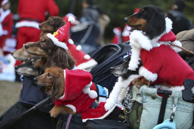 Pet dogs in Santa Claus costume pose of photos with their owners before the start of Santa Run at Kasai Rinkai Park in Tokyo, Saturday, December 6, 2014. (Photo by Eugene Hoshiko/AP Photo)