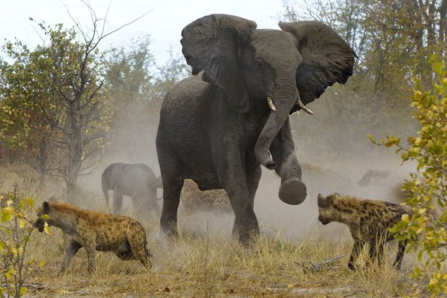 The elephant is seen charging at the hyenas to ward them off its offspring. (Photo by Jayesh Mehta/Caters News)