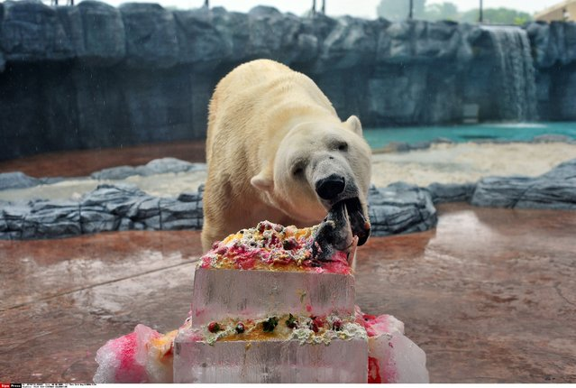 Polar bear Inuka eats its birthday ice cake made of salmon, fruits and cream at the Singapore Zoo in Singapore, December 26, 2014. The Singapore Zoo held a birthday celebration for 24-year-old Inuka, the first polar bear born in the tropics. (Photo by Then Chih Wey/Xinhua/SIPA Press)
