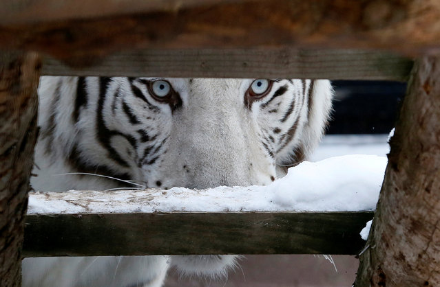 Khan, a five-year-old male White Bengal tiger, looks on inside an open-air cage at the Royev Ruchey zoo in Krasnoyarsk, Russia, October 21, 2016. (Photo by Ilya Naymushin/Reuters)
