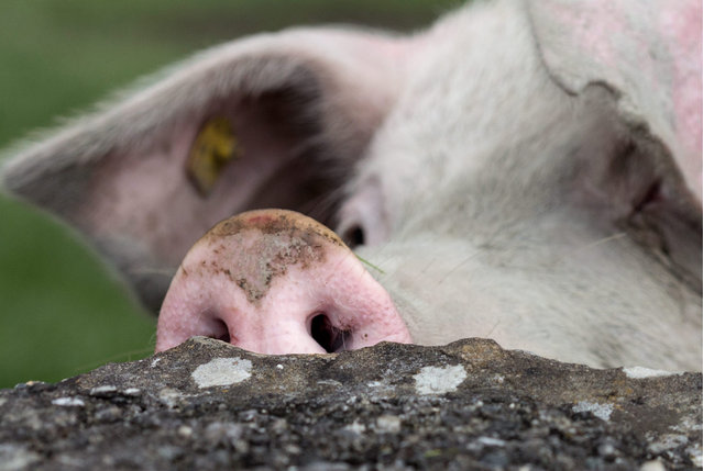 A pig sniffs around as it appears to enjoy going out and plough through a pasture in Igis, Switzerland, 11 May 2013. (Photo by Arno Balzarini/EPA)