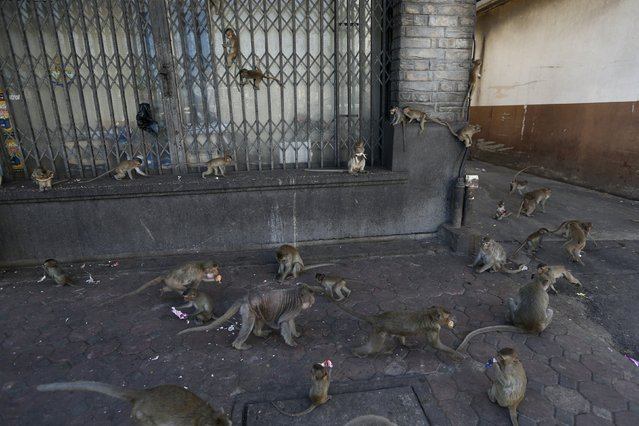 A troop of long-tailed macaques are seen along a street in Lopburi, north of Bangkok November 29, 2015. (Photo by Jorge Silva/Reuters)