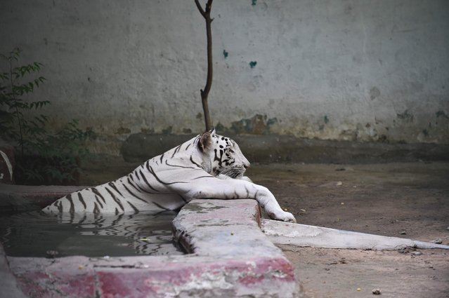An Indian white tigress takes sit a pond in a enclosure during a hot day at the Kamla Nehru Zoological Park in Ahmedabad on May 26, 2018. (Photo by Sam Panthaky/AFP Photo)