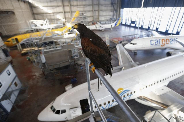 A Harris Hawk observes the aircraft hangar building near Belgrade's Nikola Tesla Airport January 15, 2015. Belgrade's airport maintenance services area decided to use falconers to scare away pigeons and other birds from aircraft hangar buildings, according to officials. (Photo by Marko Djurica/Reuters)