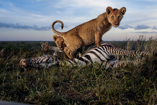 Cubs of the Simba East pride: too young to kill but old enough to crave meat. Adult females, and sometimes males, do the hunting. Zebras and wildebeests rank high as chosen prey in the rainy season. (Photo by Michael Nichols/National Geographic via The Atlantic)