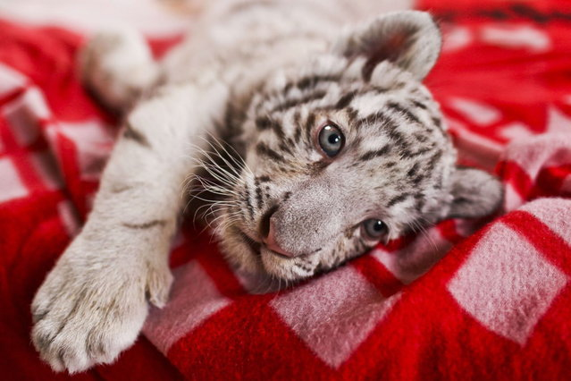 A 42-day-old white bengal tiger cub, the first of its kind born in Peru, is presented at the Huachipa's zoo in Lima on August 6, 2013. (Photo by Ernesto Benavides/AFP Photo)