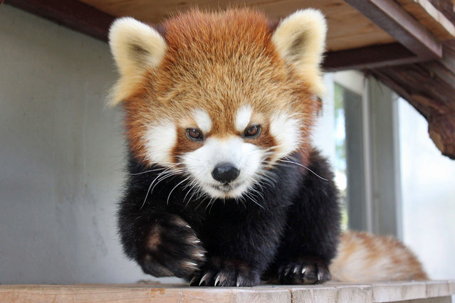 This undated handout photo released by the Shizuoka Municipal Nihondaira Zoo on December 31, 2015 shows the red panda, called Sumire, at the zoo in Shizuoka. A Japanese zoo scrambled all of its staff on December 31 to track down a missing red panda, a zoo spokesman said, finally recovering her in a nearby area. About 20 zoo workers and three police dogs joined the hunt for the missing creature, called Sumire, after she disappeared from her enclosure on December 30. (Photo by AFP Photo/Nihondaira Zoo)