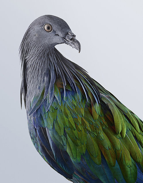 """Jeffreys felt """"pigeons and doves were misunderstood"""", and she """"wanted to tell their story and reveal just how diverse they can be"""". (Photo by Leila Jefferies/Caters News Agency)"""